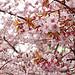 僕が撮った桜の写真がカレンダーになったぞ!