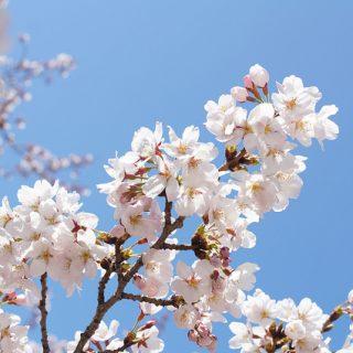 青い空×桜の美しさを切り取った!