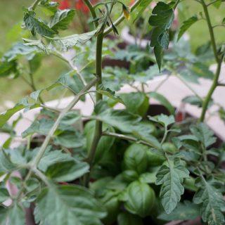 サントリー「本気野菜」のトマトをプランターに植え替えたぞ! #sun_topi