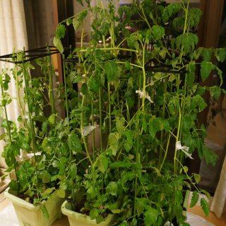 【ご報告】台風でサントリー「本気野菜」のトマトが何本かやられてしまいました・・・ #sun_topi