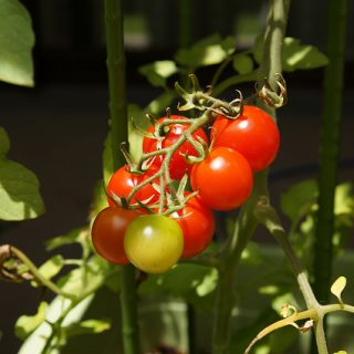 サントリー本気野菜のトマトが少しずつ熟れてきた! #sun_topi