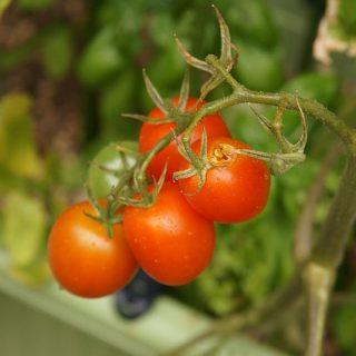 サントリー本気野菜のトマトが、何者かに食い荒らされたぞ・・・! #sun_topi