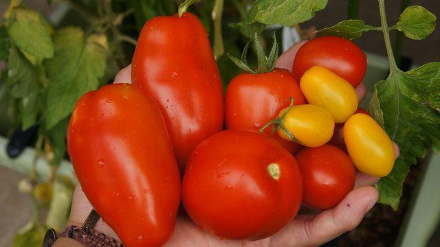 サントリー本気野菜、調理用トマトの「ルンゴ」を実際に調理してみたぞ! #sun_topi