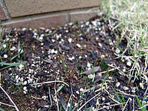 種から蒔いた芝の芽が出たぞ!
