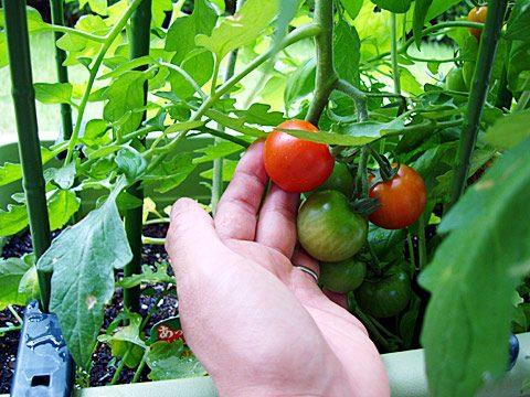 マンションのバルコニーで育てたトマトの初収穫!