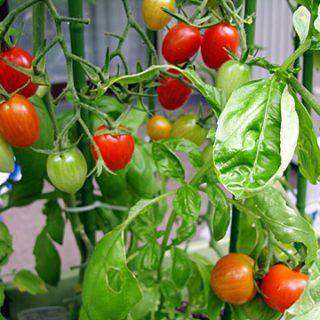 マンションのバルコニーで育てたトマトが大量に収穫できたぞ!