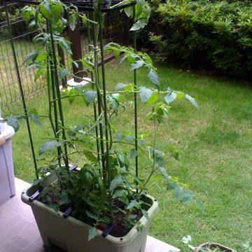 マンションのバルコニーで育てているトマトのその後1