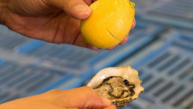 牡蠣養殖に革命を!塩田跡地の綺麗な塩水で育てるから美味い「ファームスズキ」の牡蠣がすごいぞ! #大崎上島観光PR