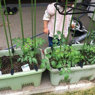 小さい子どもがいるならベランダでトマトの家庭菜園で食育が良いぞ!