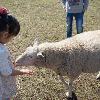 千葉のマザー牧場に行くなら!ヒツジやアルパカに餌をあげられる「マザーファームツアー」がオススメだぞ!