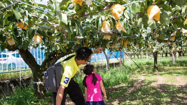 東京都内で入園料無料の梨狩り体験!稲城市「 #清玉園 」が子連れで楽しめるぞ!【PR】 #たま発 #tamahatsu #多摩の魅力発信プロジェクト