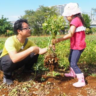 【お芋掘り】川崎市内で落花生&サツマイモ掘り体験が手軽に楽しめるぞ!